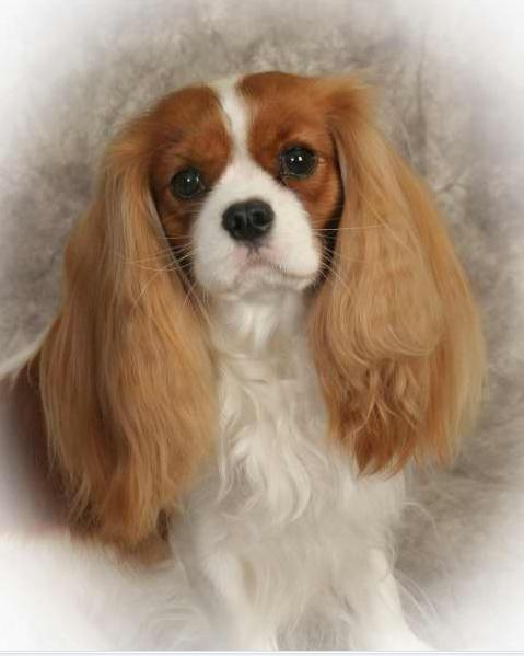 Cavalier king charles spaniel puppies ohio